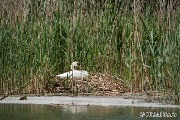 Mute Swan (Cygnus olor) labuť veľká - Michal Šeďo_Sedo