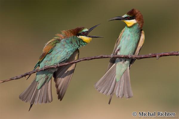 European Bee-eater (Merops apiaster) včelárik zlatý - Michal Richter