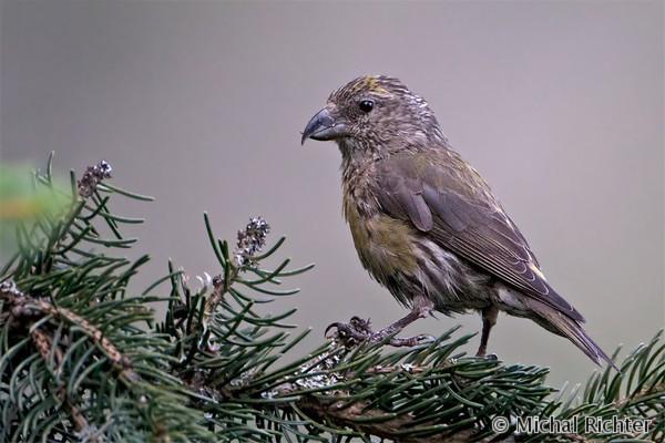 Common Crossbill (Loxia curvirostra) krivonos smrekový - Michal Richter