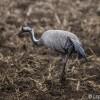 photo: Common Crane