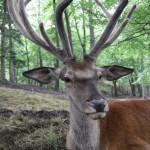 Red Deer (Cervus elaphus) jeleň lesný - Ján Dobšovič