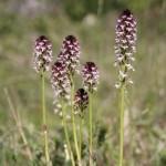 Burnt Orchid (Orchis ustulata) vstavač počerný - Ján Dobšovič