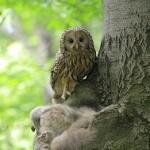 Ural Owl (Strix uralensis) sova dlhochvostá - Jozef Fiala