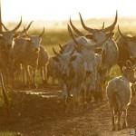 uhorský dobytok - Andrej Chudý