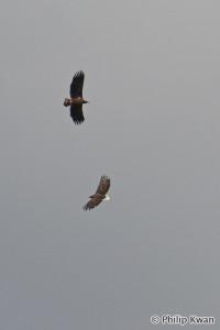 White-tailed Eagles (Haliaeetus albicilla) orliaky morské - Philip Kwan