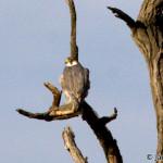 Peregrine Falcon (Falco peregrinus) sokol sťahovavý - Ján Dobšovič