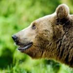 Brown Bear (Ursus arctos) medveď hnedý - Tomáš Hulík