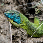 Green Lizard (Lacerta virids) jašterica zelená - Tomáš Hulík