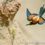 European Bee-eater (Merops apiaster) Včelárik zlatý - Tomáš Hulík