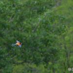 European Bee-eater (Merops apiaster) včelárik zlatý - Philip Kwan