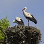 White Stork (Ciconia ciconia) bocian biely - Ján Dobšovič