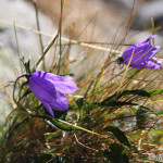 Bellflower (Campanula tatrae) zvonček tatranský - Ján Dobšovič