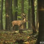 Red Deer (Cervus elaphus) Jeleň lesný - Michal Blaško