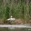 photo: Mute Swan on nest