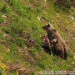 Brown Bear (Ursus arctos) medveď hnedý - Tomáš Kaliský