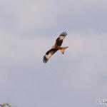 Red Kite (Milvus milvus) haja červená - Ján Dobšovič