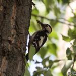 Syrian Woodpecker (Dendrocopos syriacus) ďateľ hnedkavý - Ján Dobšovič