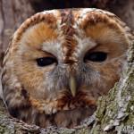 Tawny Owl (Strix aluco) sova obyčajná - Michal Richter