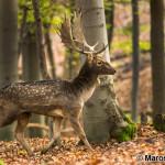Fallow deer (Dama dama) daniel škvrnitý - Maroš Margetín