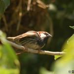 Spanish Sparrow (Passer hispaniolensis) vrabec obojkový