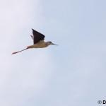 Black-winged Stilt (Himantopus himantopus) šišila bocianovitá