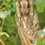 Long-eared Owl (Asio otus) myšiarka ušatá