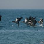 Dalmatian Pelican (Pelecanus crispus) pelikán kučeravý
