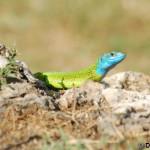 European green lizard (Lacerta viridis) jašterica zelená