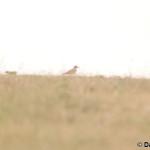 Eurasian Stone-curlew (Burhinus oedicnemus) ležiak úhorový