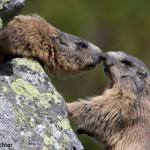 Alpine marmot (Marmota marmota latirostris) svišť vrchovský tatranský
