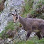 Tatra chamois (Rupicapra rupicapra tatrica) kamzík vrchovský tatranský
