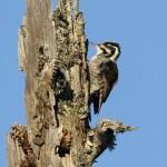 Eurasian Three-toed Woodpecker (Picoides tridactylus) ďubník trojprstý - Tomáš Kaliský