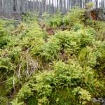 Bavarian Forest / Bavorský les