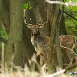 Fallow Deer (Dama dama) daniel škvrnitý - Ján Dobšovič