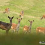 Fallow Deers (Dama dama) daniele škvrnité - Ján Dobšovič