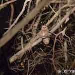 Tawny Owl (Strix aluco) sova obyčajná - Fabian Buschor
