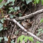Winter Wren (Troglodytes troglodytes) oriešok obyčajný - Ján Dobšovič