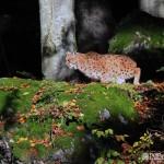 Eurasian lynx (Lynx lynx) rys ostrovid - Mikuláš Sliacky