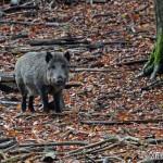 Wild boar (Sus scrofa) diviak lesný - Mikuláš Sliacky