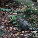 Wildcat (Felis silvestris) mačka divá - Mikuláš Sliacky