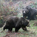 Brown Bear (Ursus arctos) medveď hnedý - Mikuláš Sliacky