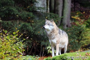 Gray wolf (Canis lupus) vlk dravý - Mikuláš Sliacky