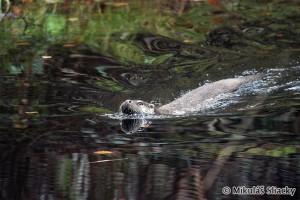 Eurasian otter (Lutra lutra) vydra riečna - Mikuláš Sliacky