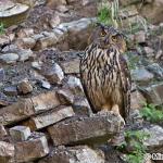 Eurasian Eagle-Owl (Bubo bubo) výr skalný - Michal Richter