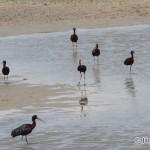 Glossy Ibis (Plegadis falcinellus) ibisovec hnedý