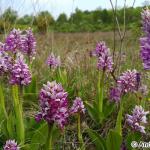 Military Orchid (Orchis militaris) vstavač vojenský - Andrej Kovarik